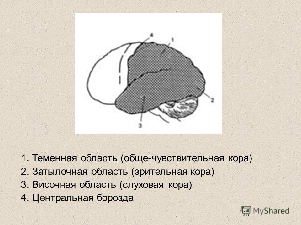 1.Теменная область (обще-чувствительная кора) 2.Затылочная область (зрительная кора) 3.Височная область (слуховая кора) 4.Центральная борозда