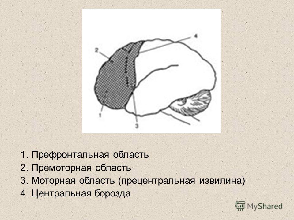 1.Префронтальная область 2.Премоторная область 3.Моторная область (прецентральная извилина) 4.Центральная борозда