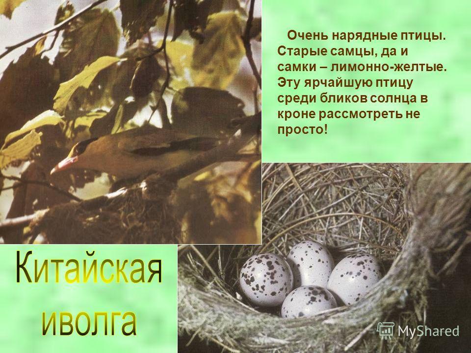 Очень нарядные птицы. Старые самцы, да и самки – лимонно-желтые. Эту ярчайшую птицу среди бликов солнца в кроне рассмотреть не просто!