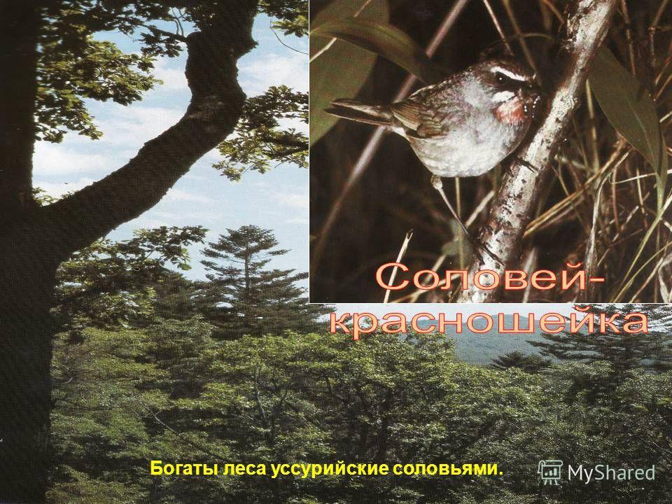 Богаты леса уссурийские соловьями.