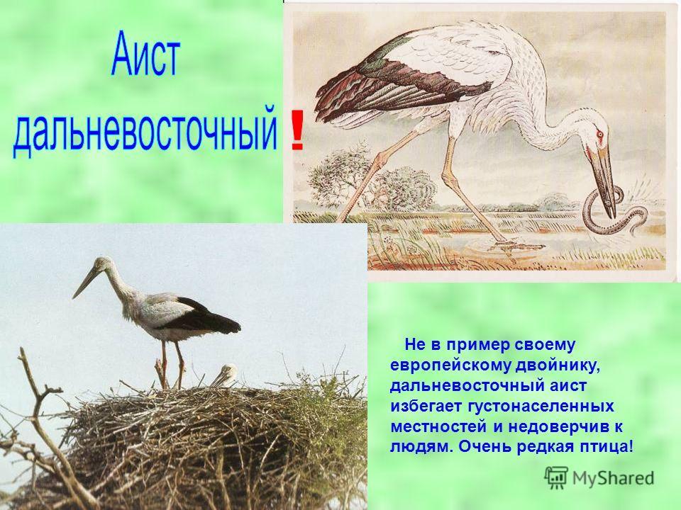 Не в пример своему европейскому двойнику, дальневосточный аист избегает густонаселенных местностей и недоверчив к людям. Очень редкая птица!