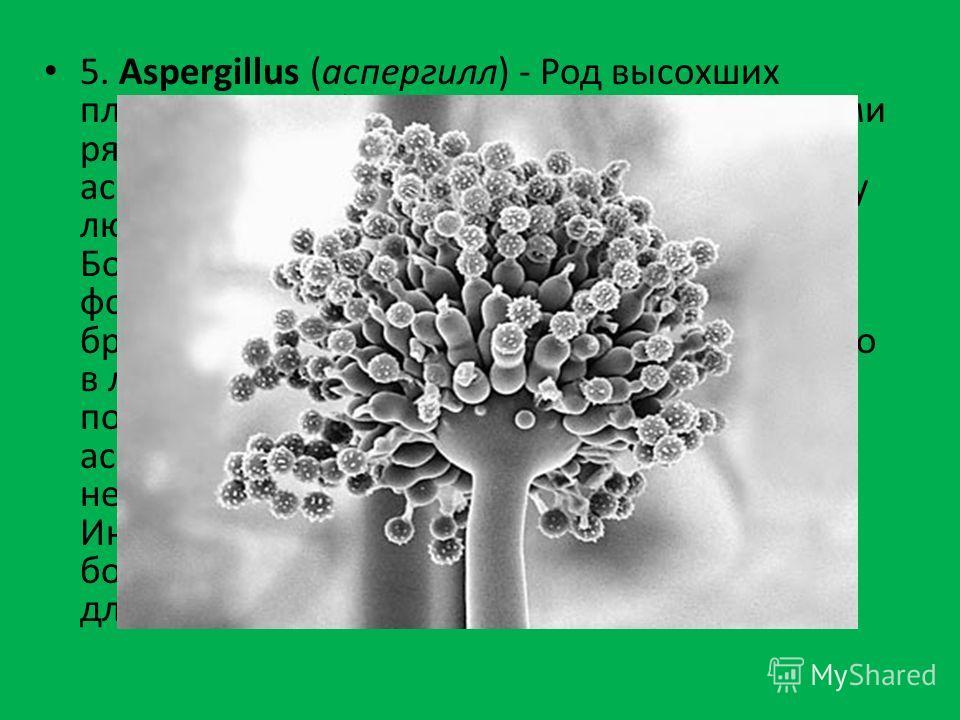 5. Aspergillus (аспергилл) - Род высохших плесневых грибов, являющихся возбудителями ряда заболеваний у животных и людей - аспергиллез. Вероятность заражения велика у людей с сильно ослабленным иммунитетом. Болезнь зачастую существует в нескольких фо