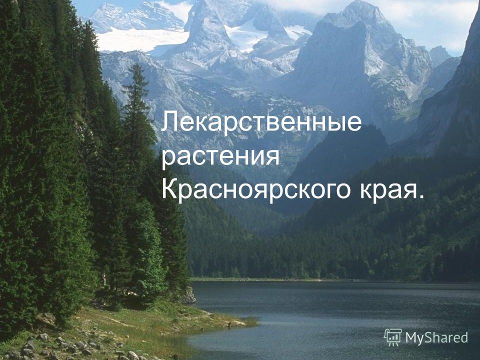 Лекарственные растения Красноярского края.