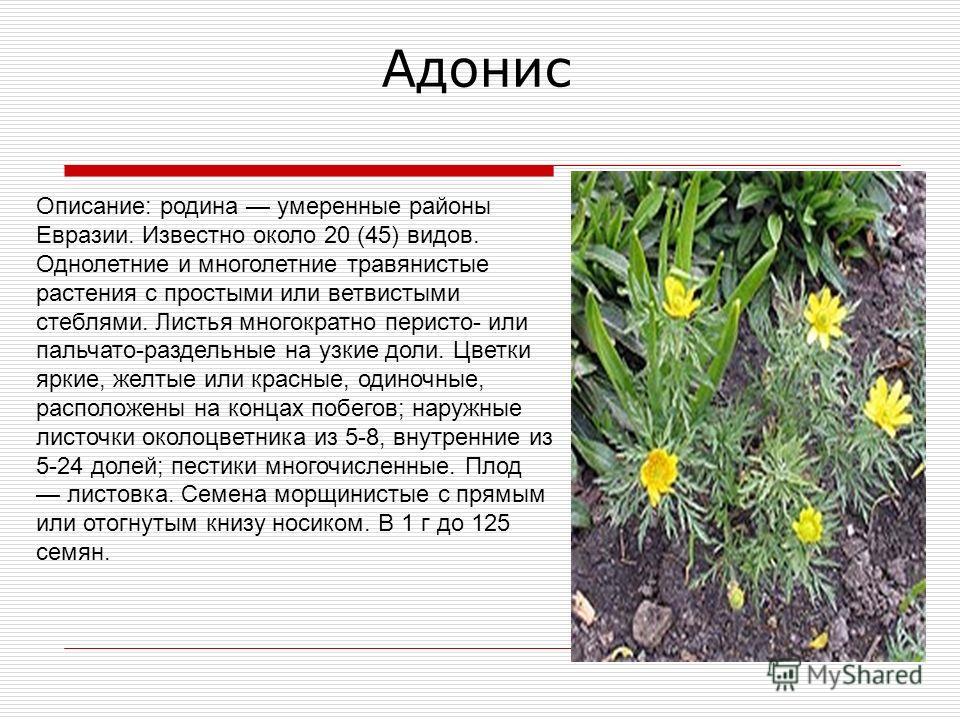Адонис Описание: родина умеренные районы Евразии. Известно около 20 (45) видов. Однолетние и многолетние травянистые растения с простыми или ветвистыми стеблями. Листья многократно перисто- или пальчато-раздельные на узкие доли. Цветки яркие, желтые