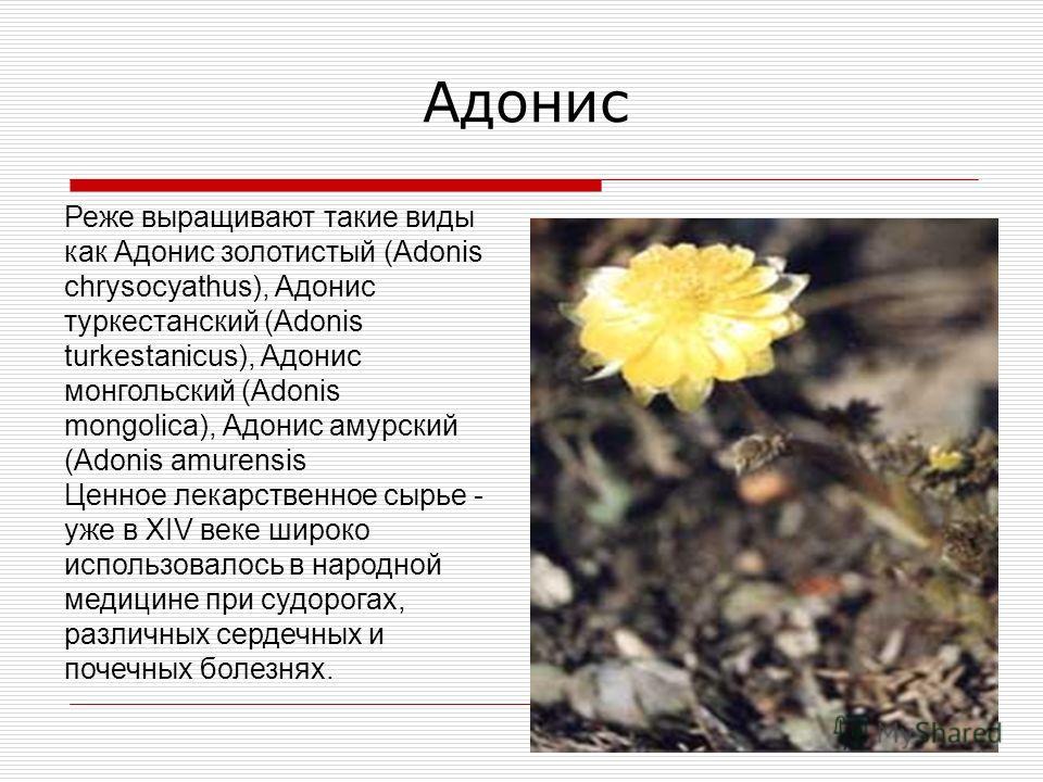 Реже выращивают такие виды как Адонис золотистый (Adonis chrysocyathus), Адонис туркестанский (Adonis turkestanicus), Адонис монгольский (Adonis mongolica), Адонис амурский (Adonis amurensis Ценное лекарственное сырье - уже в XIV веке широко использо