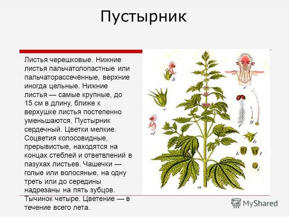 Листья черешковые. Нижние листья пальчатолопастные или пальчаторассечённые, верхние иногда цельные. Нижние листья самые крупные, до 15 см в длину, ближе к верхушке листья постепенно уменьшаются. Пустырник сердечный. Цветки мелкие. Соцветия колосовидн