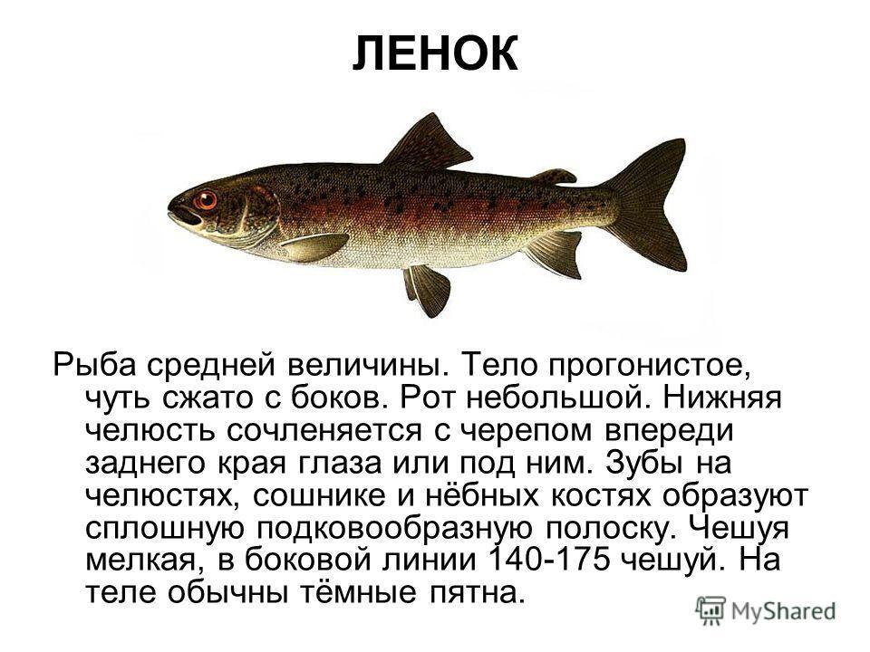 ЛЕНОК Рыба средней величины. Тело прогонистое, чуть сжато с боков. Рот небольшой. Нижняя челюсть сочленяется с черепом впереди заднего края глаза или под ним. Зубы на челюстях, сошнике и нёбных костях образуют сплошную подковообразную полоску. Чешуя