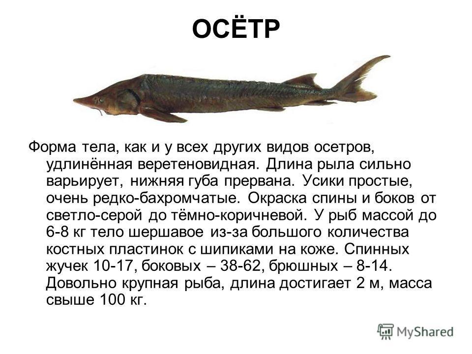 ОСЁТР Форма тела, как и у всех других видов осетров, удлинëнная веретеновидная. Длина рыла сильно варьирует, нижняя губа прервана. Усики простые, очень редко-бахромчатые. Окраска спины и боков от светло-серой до тëмно-коричневой. У рыб массой до 6-8