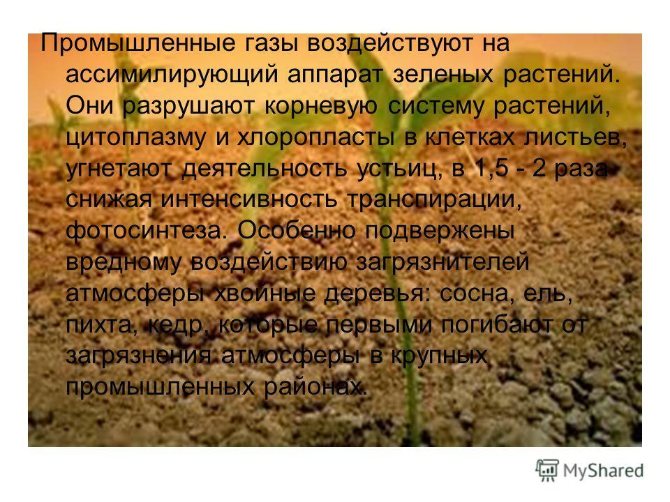 Промышленные газы воздействуют на ассимилирующий аппарат зеленых растений. Они разрушают корневую систему растений, цитоплазму и хлоропласты в клетках листьев, угнетают деятельность устьиц, в 1,5 - 2 раза снижая интенсивность транспирации, фотосинтез