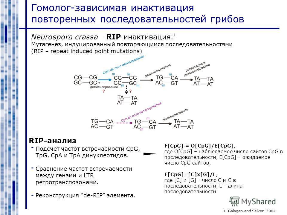 Гомолог-зависимая инактивация повторенных последовательностей грибов Neurospora crassa - RIP инактивация. Мутагенез, индуцированный повторяющимся последовательностями (RIP – repeat induced point mutations) 1 1. Galagan and Selker. 2004. RIP-анализ По