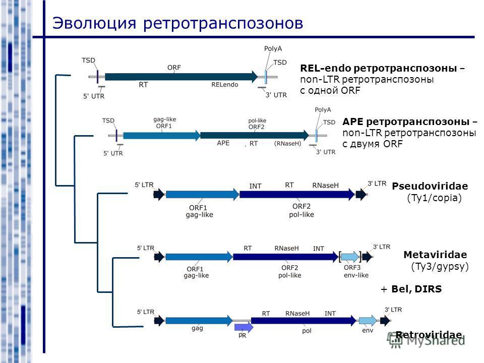 Эволюция ретротранспозонов REL-endo ретротранспозоны – non-LTR ретротранспозоны с одной ORF APE ретротранспозоны – non-LTR ретротранспозоны с двумя ORF Pseudoviridae Metaviridae Retroviridae (Ty1/copia) (Ty3/gypsy) + Bel, DIRS