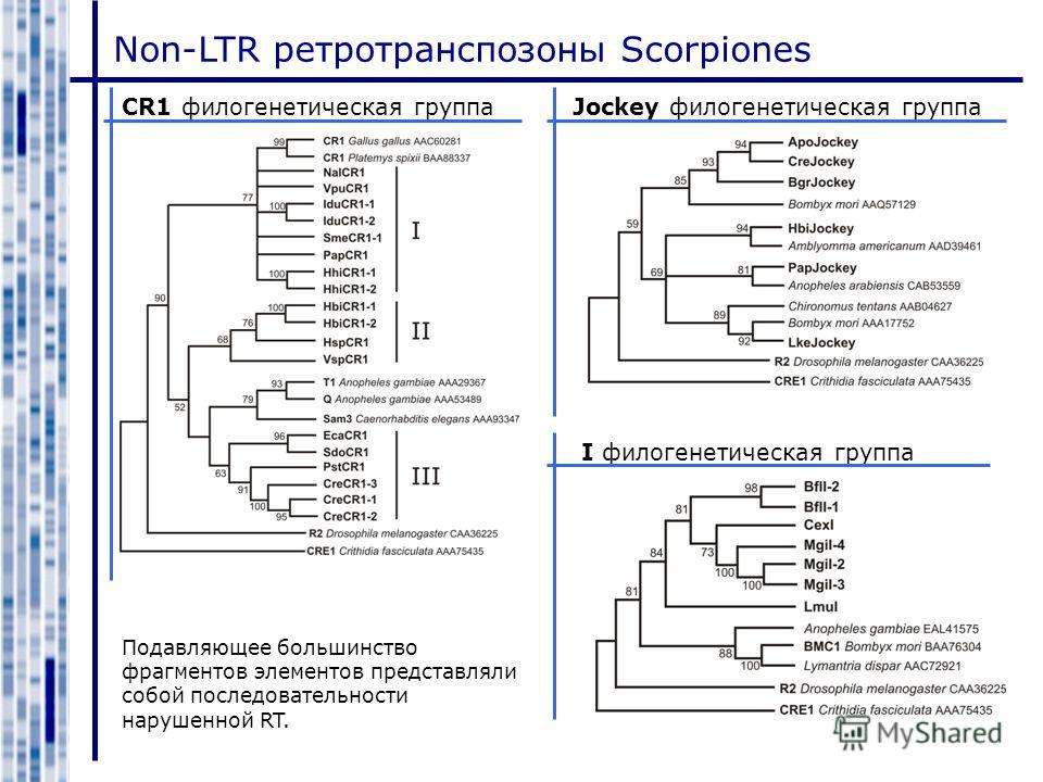 Non-LTR ретротранспозоны Scorpiones CR1 филогенетическая группаJockey филогенетическая группа I филогенетическая группа Подавляющее большинство фрагментов элементов представляли собой последовательности нарушенной RT.