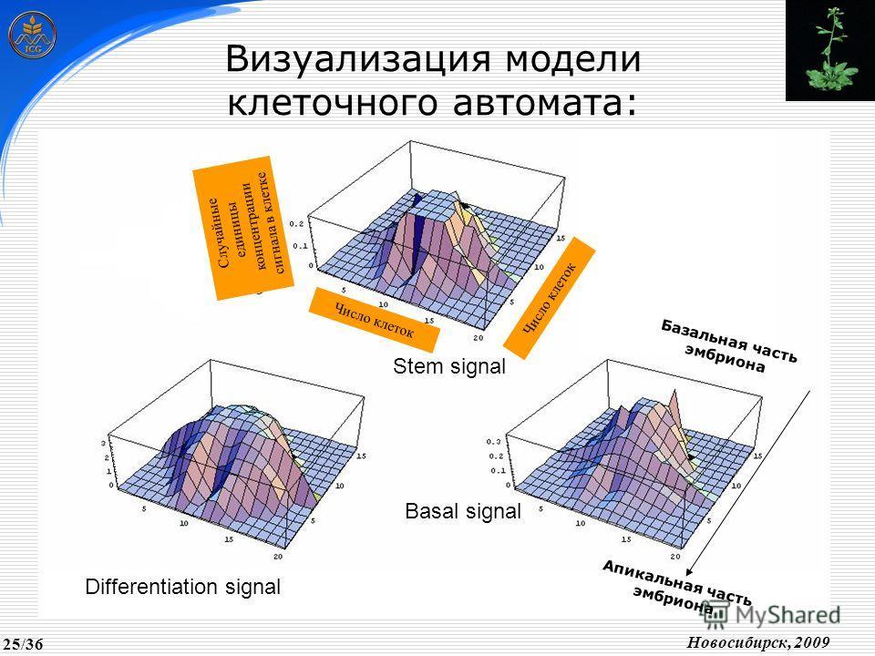 Число клеток Случайные единицы концентрации сигнала в клетке Stem signal Differentiation signal Basal signal Визуализация модели клеточного автомата: Базальная часть эмбриона Апикальная часть эмбриона Новосибирск, 2009 25/36