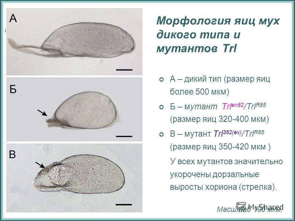 Морфология яиц мух дикого типа и мутантов Trl А – дикий тип (размер яиц более 500 мкм) Б – мутант Trl en82 /Trl R85 (размер яиц 320-400 мкм) В – мутант Trl 362(ex) /Trl R85 (размер яиц 350-420 мкм ) У всех мутантов значительно укорочены дорзальные вы