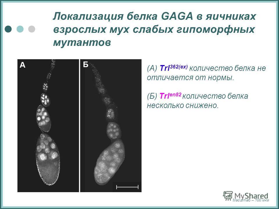Локализация белка GAGA в яичниках взрослых мух слабых гипоморфных мутантов (А) Trl 362(ex) количество белка не отличается от нормы. (Б) Trl en82 количество белка несколько снижено. Масштаб – 100 мкм