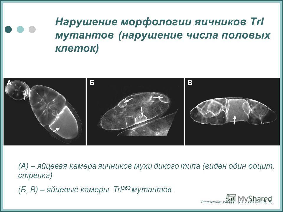 Нарушение морфологии яичников Trl мутантов (нарушение числа половых клеток) (А) – яйцевая камера яичников мухи дикого типа (виден один ооцит, стрелка) (Б, В) – яйцевые камеры Trl 362 мутантов. Увеличение х40 для (А) и х20 для (Б, В).