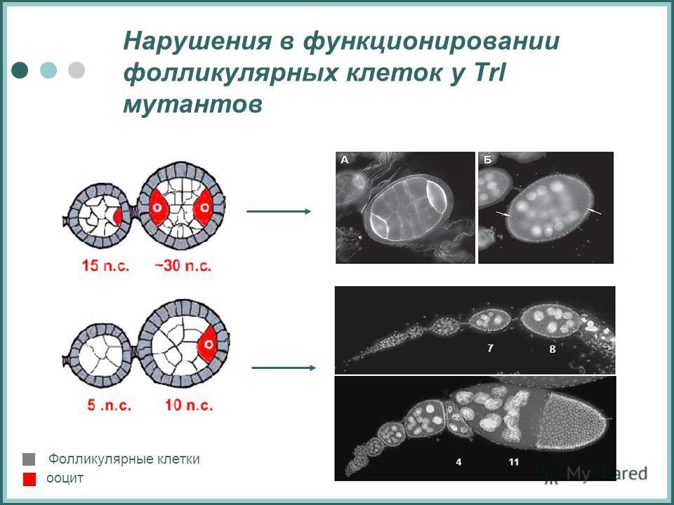 Нарушения в функционировании фолликулярных клеток у Trl мутантов ооцит Фолликулярные клетки