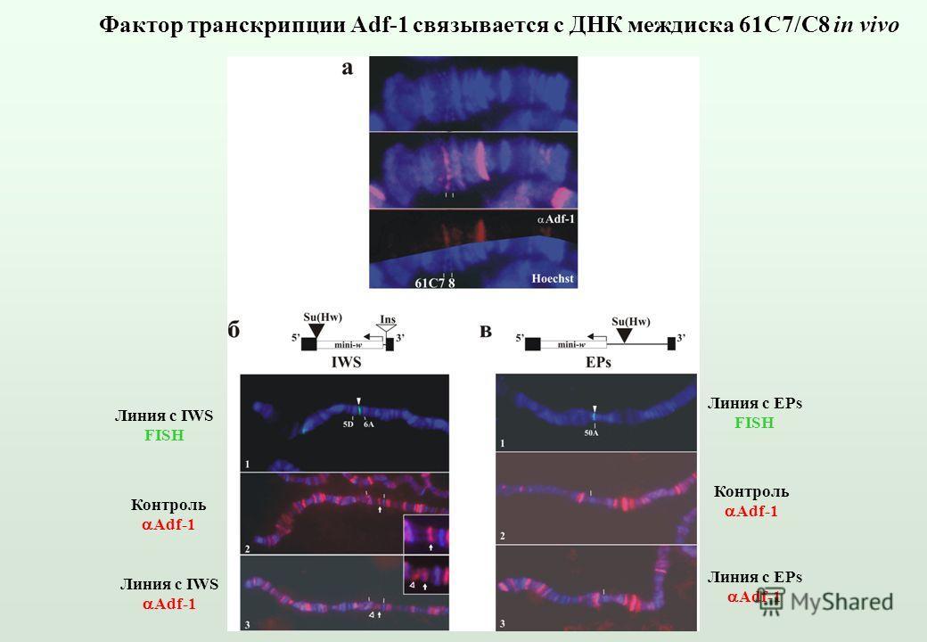 Фактор транскрипции Adf-1 связывается с ДНК междиска 61С7/C8 in vivo Линия с IWS FISH Линия с EPs FISH Контроль Adf-1 Контроль Adf-1 Линия с IWS Adf-1 Линия с EPs Adf-1