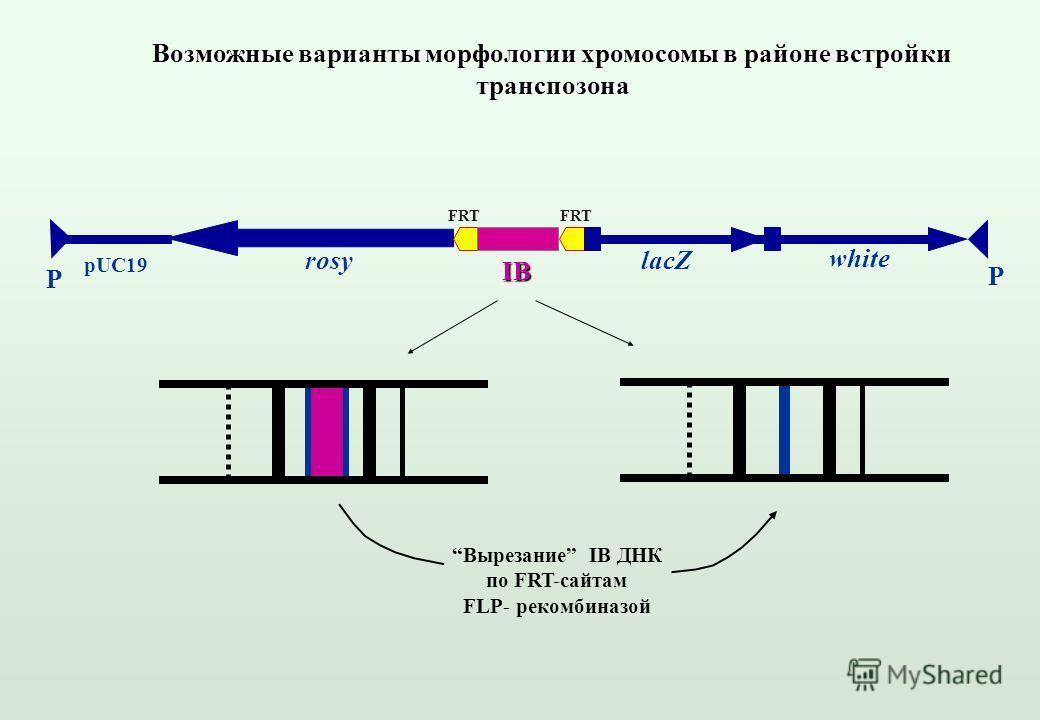 IB rosy pUC19 white lacZ P P Возможные варианты морфологии хромосомы в районе встройки транспозона Вырезание IB ДНК по FRT-сайтам FLP- рекомбиназой FRT
