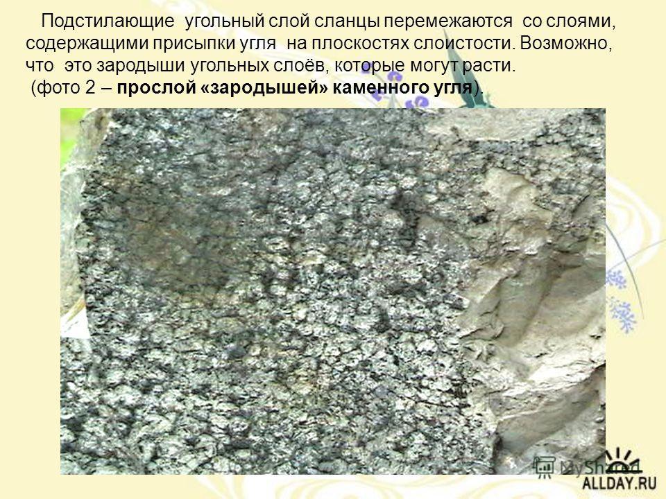 Подстилающие угольный слой сланцы перемежаются со слоями, содержащими присыпки угля на плоскостях слоистости. Возможно, что это зародыши угольных слоёв, которые могут расти. (фото 2 – прослой «зародышей» каменного угля).