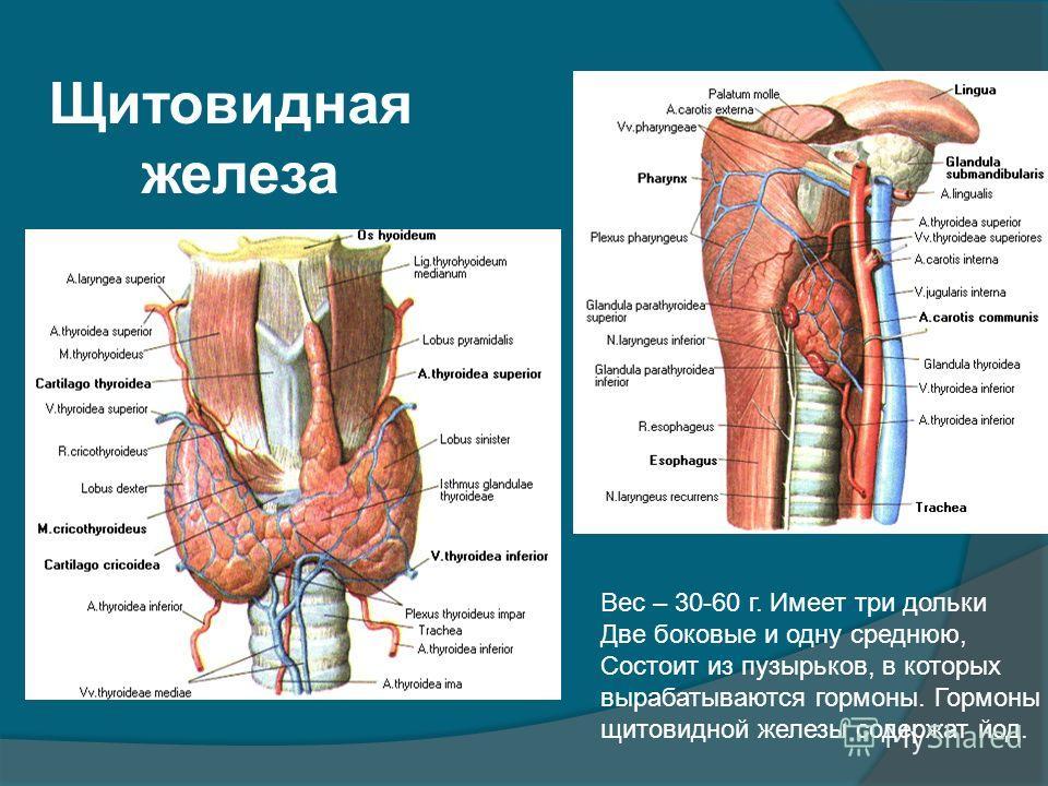 Щитовидная железа Вес – 30-60 г. Имеет три дольки Две боковые и одну среднюю, Состоит из пузырьков, в которых вырабатываются гормоны. Гормоны щитовидной железы содержат йод.