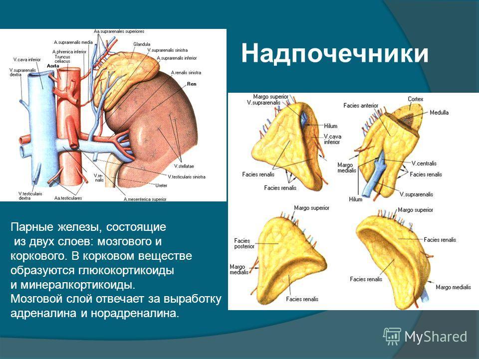 Надпочечники Парные железы, состоящие из двух слоев: мозгового и коркового. В корковом веществе образуются глюкокортикоиды и минералкортикоиды. Мозговой слой отвечает за выработку адреналина и норадреналина.