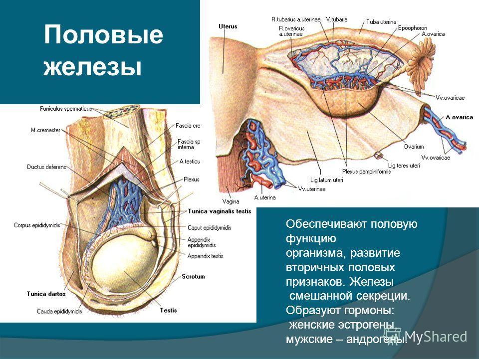 Половые железы Обеспечивают половую функцию организма, развитие вторичных половых признаков. Железы смешанной секреции. Образуют гормоны: женские эстрогены, мужские – андрогены.