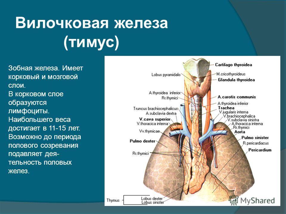 Вилочковая железа (тимус) Зобная железа. Имеет корковый и мозговой слои. В корковом слое образуются лимфоциты. Наибольшего веса достигает в 11-15 лет. Возможно до периода полового созревания подавляет дея- тельность половых желез.