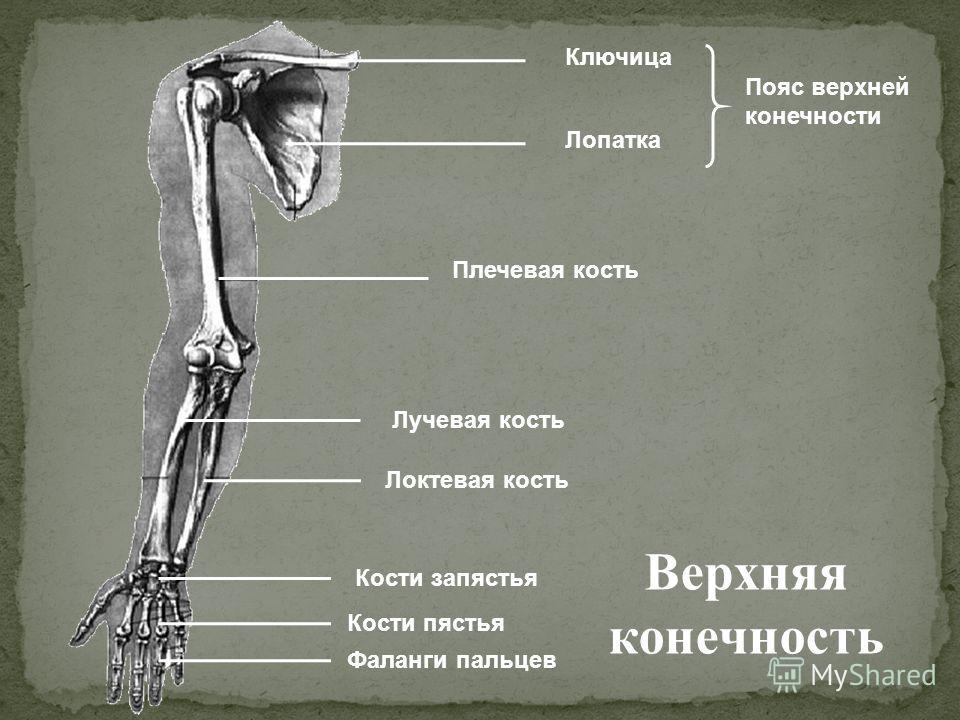 Ключица Лопатка Плечевая кость Локтевая кость Лучевая кость Кости запястья Фаланги пальцев Пояс верхней конечности Кости пястья Верхняя конечность
