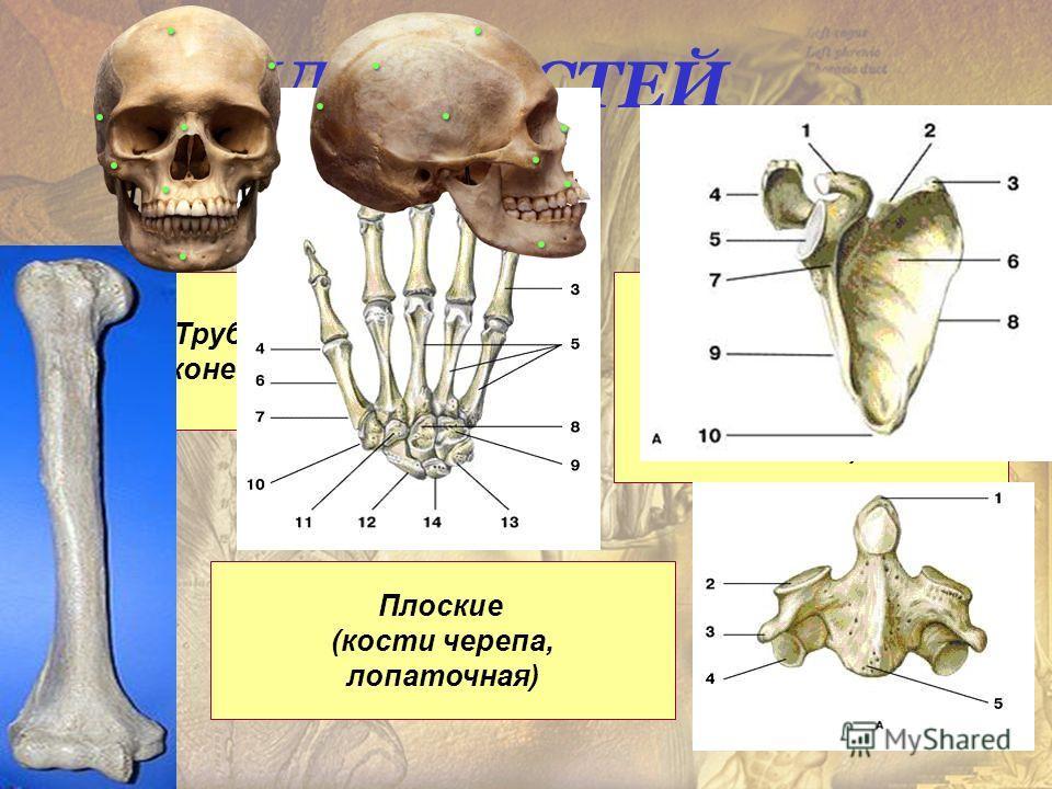 ВИДЫ КОСТЕЙ Трубчатые (конечности) Короткие (тела позвонков, грудина, кости стопы, кисти) Плоские (кости черепа, лопаточная)