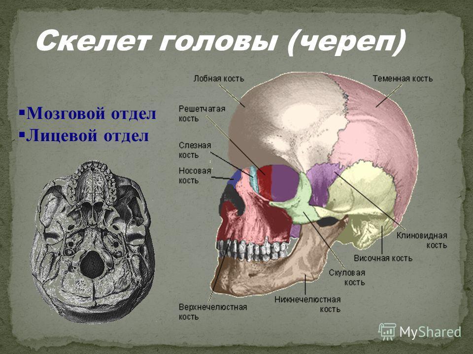 Мозговой отдел Лицевой отдел Скелет головы (череп)