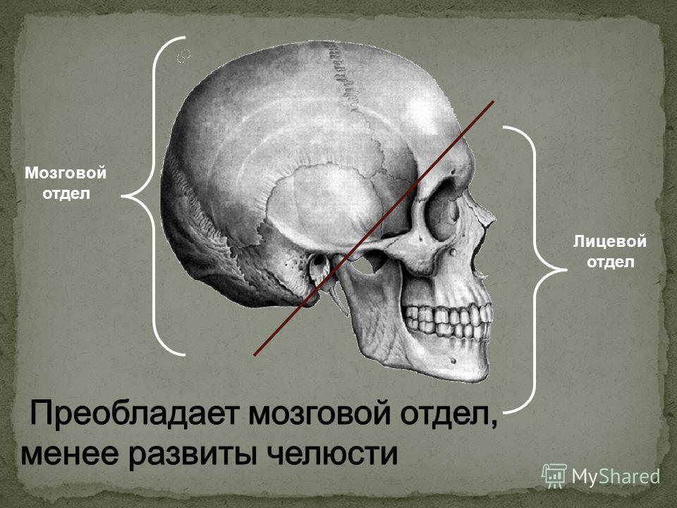Лицевой отдел Мозговой отдел
