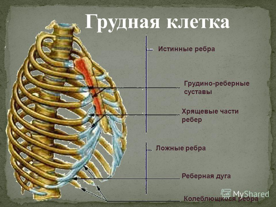 Ребро Ложное фото