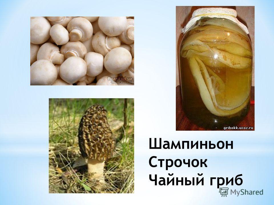 Шампиньон Строчок Чайный гриб