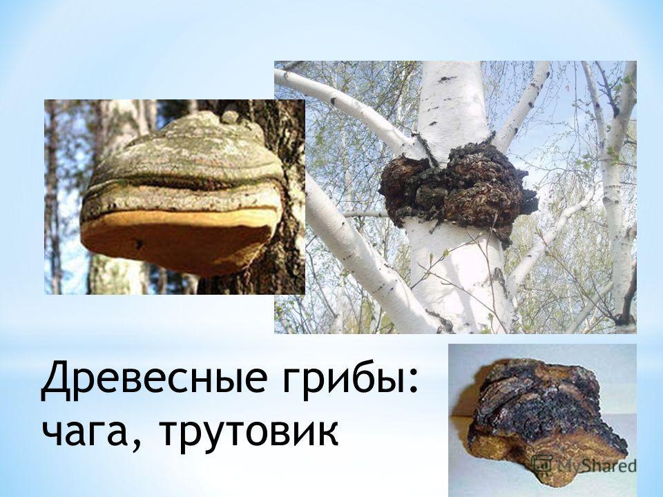Древесные грибы: чага, трутовик