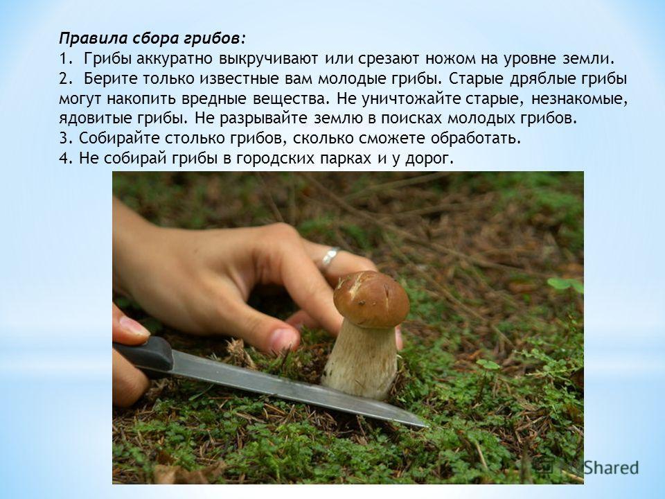 Правила сбора грибов: 1.Грибы аккуратно выкручивают или срезают ножом на уровне земли. 2.Берите только известные вам молодые грибы. Старые дряблые грибы могут накопить вредные вещества. Не уничтожайте старые, незнакомые, ядовитые грибы. Не разрывайте