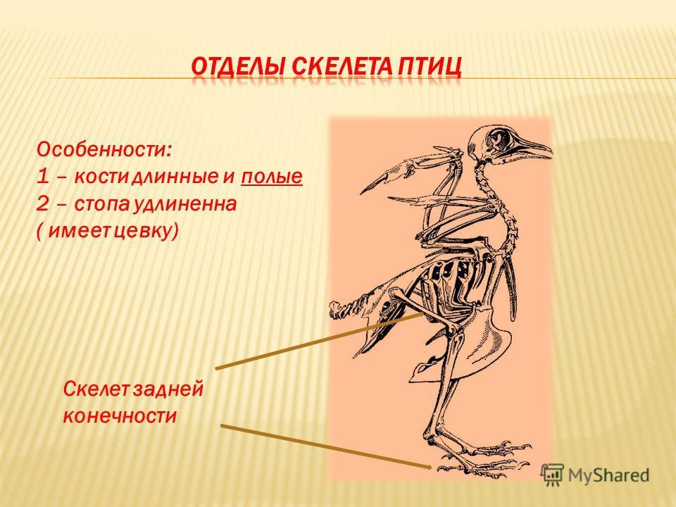 Скелет задней конечности Особенности: 1 – кости длинные и полые 2 – стопа удлиненна ( имеет цевку)