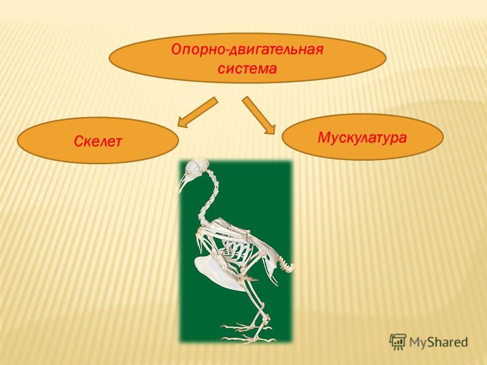 Опорно-двигательная система Скелет Мускулатура