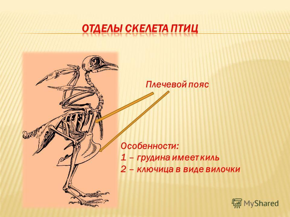 Плечевой пояс Особенности: 1 – грудина имеет киль 2 – ключица в виде вилочки