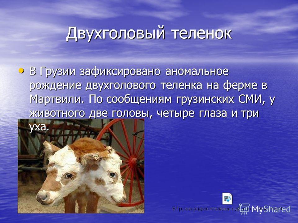 Двухголовый теленок В Грузии зафиксировано аномальное рождение двухголового теленка на ферме в Мартвили. По сообщениям грузинских СМИ, у животного две головы, четыре глаза и три уха. В Грузии зафиксировано аномальное рождение двухголового теленка на