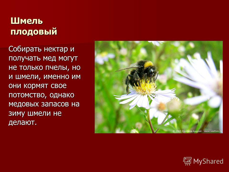 Шмель плодовый Собирать нектар и получать мед могут не только пчелы, но и шмели, именно им они кормят свое потомство, однако медовых запасов на зиму шмели не делают.