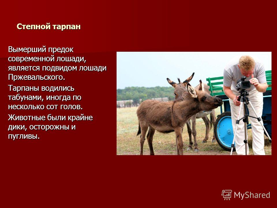 Степной тарпан Вымерший предок современной лошади, является подвидом лошади Пржевальского. Тарпаны водились табунами, иногда по несколько сот голов. Животные были крайне дики, осторожны и пугливы.