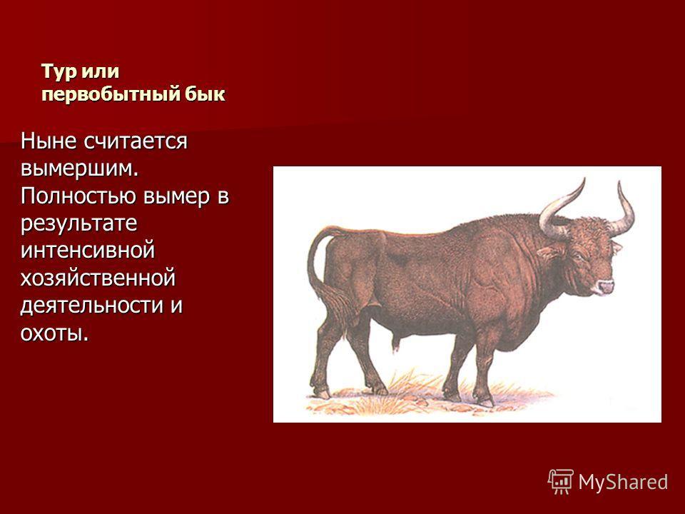 Тур или первобытный бык Ныне считается вымершим. Полностью вымер в результате интенсивной хозяйственной деятельности и охоты.