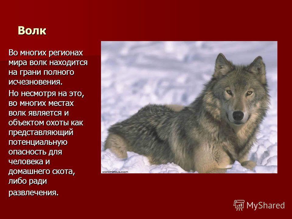Волк Во многих регионах мира волк находится на грани полного исчезновения. Но несмотря на это, во многих местах волк является и объектом охоты как представляющий потенциальную опасность для человека и домашнего скота, либо ради развлечения.