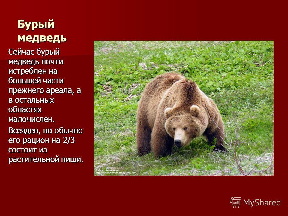 Бурый медведь Сейчас бурый медведь почти истреблен на большей части прежнего ареала, а в остальных областях малочислен. Всеяден, но обычно его рацион на 2/3 состоит из растительной пищи.