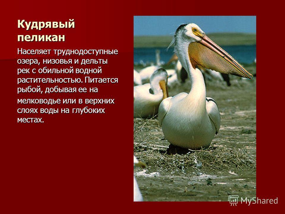 Кудрявый пеликан Населяет труднодоступные озера, низовья и дельты рек с обильной водной растительностью. Питается рыбой, добывая ее на мелководье или в верхних слоях воды на глубоких местах.