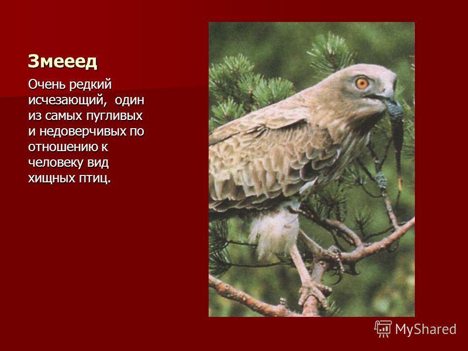 Змееед Очень редкий исчезающий, один из самых пугливых и недоверчивых по отношению к человеку вид хищных птиц.