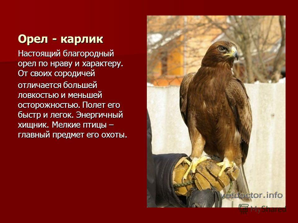 Орел - карлик Настоящий благородный орел по нраву и характеру. От своих сородичей отличается большей ловкостью и меньшей осторожностью. Полет его быстр и легок. Энергичный хищник. Мелкие птицы – главный предмет его охоты.