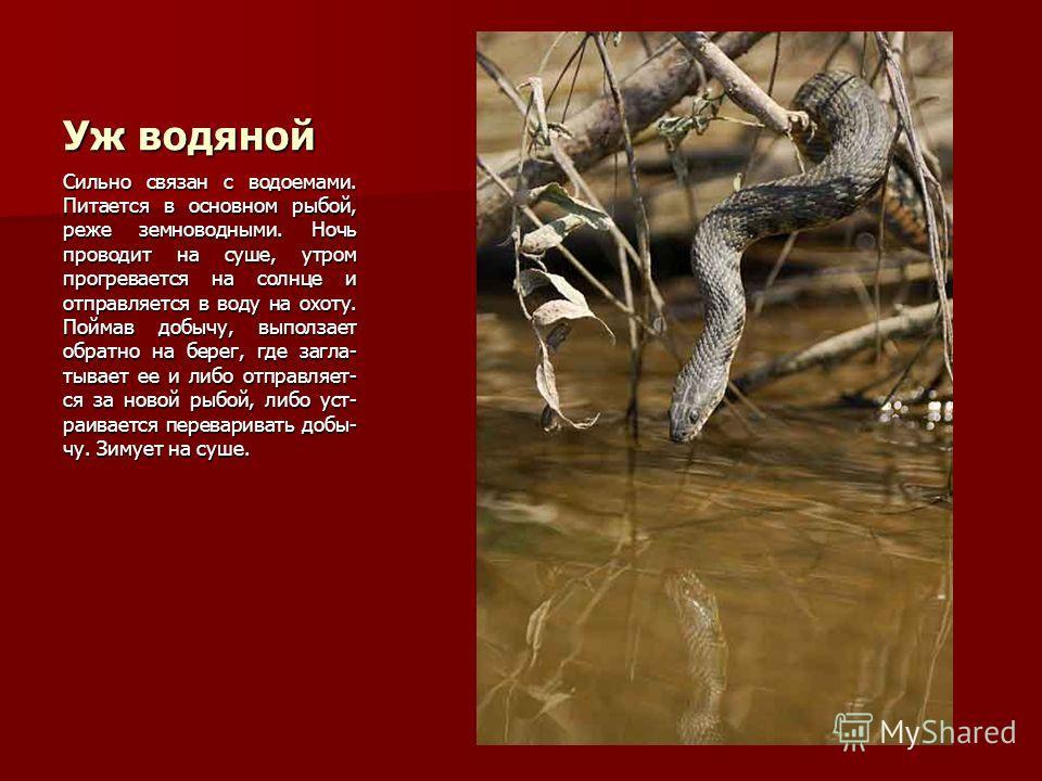 Уж водяной Сильно связан с водоемами. Питается в основном рыбой, реже земноводными. Ночь проводит на суше, утром прогревается на солнце и отправляется в воду на охоту. Поймав добычу, выползает обратно на берег, где загла- тывает ее и либо отправляет-
