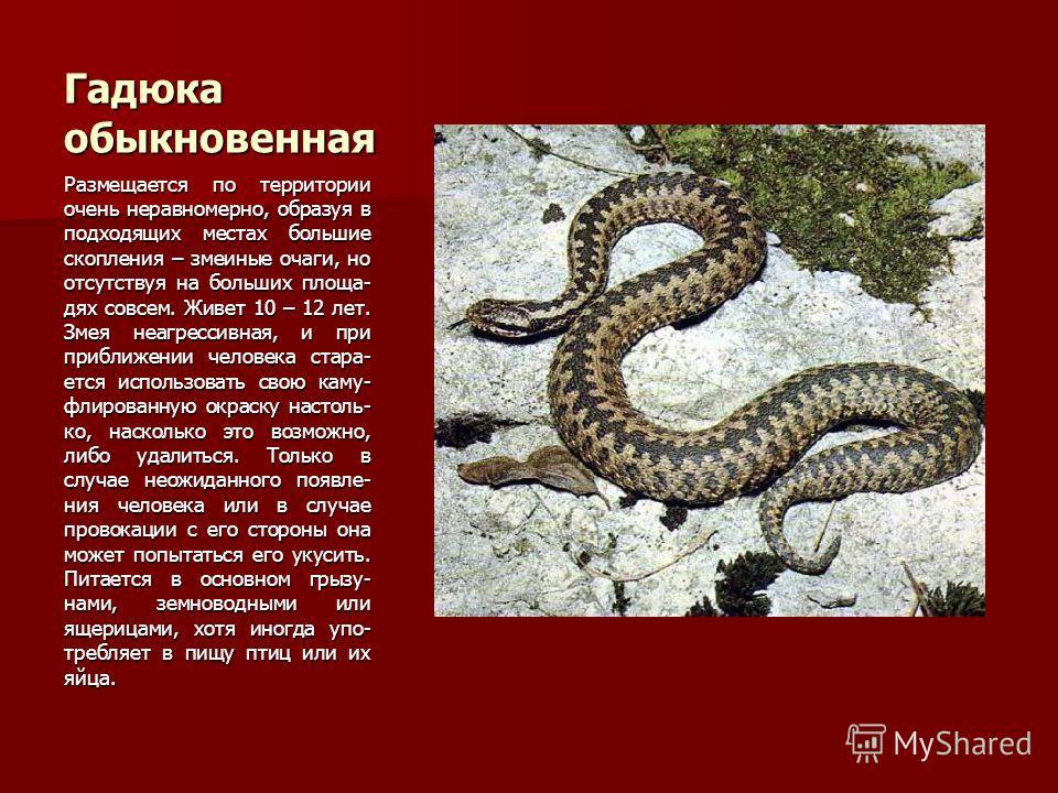 Гадюка обыкновенная Размещается по территории очень неравномерно, образуя в подходящих местах большие скопления – змеиные очаги, но отсутствуя на больших площа- дях совсем. Живет 10 – 12 лет. Змея неагрессивная, и при приближении человека стара- ется